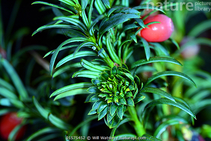 Artichoke gall caused by a midge (Taxomyia taxi), on Yew (Taxus baccata) Leominster Priory, Herefordshire, England, UK, October 2016.  ,  Plant,Vascular plant,Conifer,Yew,English yew tree,Galls,Plantae,Plant,Tracheophyta,Vascular plant,Pinopsida,Conifer,Gymnosperm,Spermatophyte,Pinophyta,Coniferophyta,Coniferae,Spermatophytina,Gymnospermae,Cupressales,Taxaceae,Taxus,Yew,Taxus baccata,English yew tree,European yew,Common yew,Cephalotaxus brevifolia,Taxus baccifera,Verataxus adpressa,Europe,Western Europe,UK,Great Britain,England,Herefordshire,Animal,Galls,Coniferous,Tree,Trees  ,  Will Watson