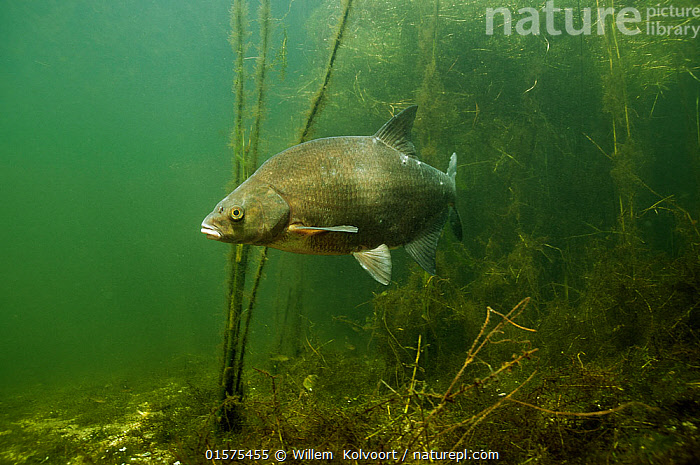 Common bream (Abramis brama) in lake, the Netherlands, August.  ,  Animal,Wildlife,Vertebrate,Ray-finned fish,Cyprinids,Common bream,Animalia,Animal,Wildlife,Vertebrate,Actinopterygii,Ray-finned fish,Osteichthyes,Bony fish,Fish,Cypriniformes,Cyprinidae,Cyprinids,Cyprinid fishes,Abramis,Abramis brama,Common bream,Freshwater bream,Bronze bream,Eastern bream,Danube bream,Bream,Abramis gehini,Abramis vulgaris,Cyprinus brama,Europe,Western Europe,The Netherlands,Holland,Netherlands,Freshwater,Lake,Water,Freshwater  ,  Willem  Kolvoort