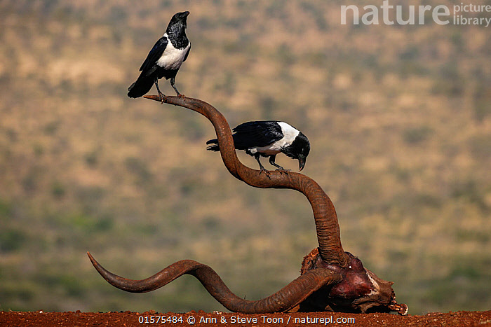Pied crows (Corvus albus) perched on horns of antelope skull.  Zimanga Private Game Reserve, KwaZulu-Natal, South Africa., catalogue10,,Animal,Wildlife,Vertebrate,Bird,Birds,Songbird,Crow,Pied crow,Animalia,Animal,Wildlife,Vertebrate,Aves,Bird,Birds,Passeriformes,Songbird,Passerine,Corvidae,Corvid,Corvus,Crow,Corvus albus,Pied crow,African pied crow,Black crow,White bellied crow,Two,Africa,Southern Africa,South Africa,Animal Skulls,Skull,Skulls,South African,KwaZulu-Natal Province,, Ann  & Steve Toon