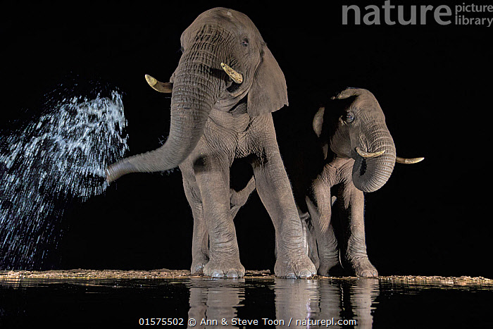 Elephants (Loxodonta africana) at waterhole drinking at night. One spraying water from trunk, Zimanga Private Game Reserve, KwaZulu-Natal, South Africa., catalogue10,,Animal,Wildlife,Vertebrate,Mammal,Elephant,African elephants,African elephant,Animalia,Animal,Wildlife,Vertebrate,Mammalia,Mammal,Proboscidea,Elephantidae,Elephant,Loxodonta,African elephants,Loxodonta africana,African elephant,Splashing,Two,Africa,Southern Africa,South Africa,Low Angle View,Animal Nose,Elephant Trunk,Reflection,Water Hole,Water Holes,Night,Freshwater,Water,Drinking,South African,KwaZulu-Natal Province,Endangered species,threatened,Endangered, Ann  & Steve Toon