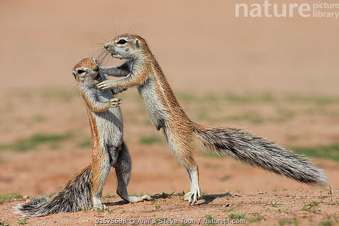 Young ground squirrels (Xerus inauris) fighting, Kgalagadi Transfrontier Park, Northern Cape, South Africa, January., catalogue10,,Animal,Wildlife,Vertebrate,Mammal,Rodent,African ground squirrel,Cape ground squirrel,Animalia,Animal,Wildlife,Vertebrate,Mammalia,Mammal,Rodentia,Rodent,Sciuridae,Xerus,African ground squirrel,Xerus inauris,Cape ground squirrel,South African ground squirrel,Xerus africanus,Xerus capensis,Xerus dschinshicus,Xerus ginginianus,Xerus levaillantii,Xerus namaquensis,Xerus setosus,Geosciurus inauris,Humorous,Africa,Southern Africa,South Africa,Animal Behaviour,Playing,Reserve,Behaviour,Play,Playful,Protected area,National Park,International Parks,Kgalagadi Transfrontier Park,South African,Northern Cape,Kgalagadi,Behavioural,, Ann  & Steve Toon