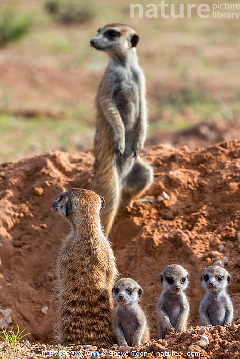 Meerkats (Suricata suricatta) with young, Kgalagadi Transfrontier Park, Northern Cape, South Africa, January., catalogue10,,Animal,Wildlife,Vertebrate,Mammal,Carnivore,Mongoose,Meerkat,Animalia,Animal,Wildlife,Vertebrate,Mammalia,Mammal,Carnivora,Carnivore,Herpestidae,Mongoose,Suricata,Meerkat,Suricata suricatta,Slender-tailed Meerkat,Suricate,Alertness,Cute,Adorable,Group,Africa,Southern Africa,South Africa,Young Animal,Baby,Burrow,Burrows,Reserve,Family,Protected area,National Park,Sentry behaviour,International Parks,Kgalagadi Transfrontier Park,South African,Kgalagadi,, Ann  & Steve Toon