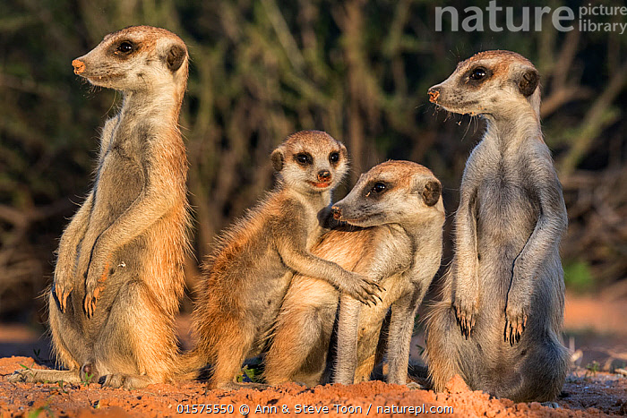 Meerkats (Suricata suricatta), Kgalagadi Transfrontier Park, Northern Cape, South Africa, January., catalogue10,,Animal,Wildlife,Vertebrate,Mammal,Carnivore,Mongoose,Meerkat,Animalia,Animal,Wildlife,Vertebrate,Mammalia,Mammal,Carnivora,Carnivore,Herpestidae,Mongoose,Suricata,Meerkat,Suricata suricatta,Slender-tailed Meerkat,Suricate,Alertness,Group,Africa,Southern Africa,South Africa,Close Up,Reserve,Family,Protected area,National Park,Sentry behaviour,International Parks,Kgalagadi Transfrontier Park,South African,Kgalagadi,, Ann  & Steve Toon
