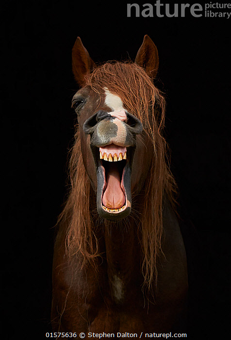 Morgan horse with mouth open, yawning against black background., catalogue10,,Equus ferus caballus,Equus caballus,Yawning,Humorous,Facial Expression,Laughing,Europe,Western Europe,UK,Great Britain,England,Front View,Portrait,Animal,Mouth,Mane,Domestic animal,Domestic Horse,Morgan horse,Domesticated,Equus ferus caballus,Equus caballus,Sussex,Horse,Mammal,, Stephen  Dalton