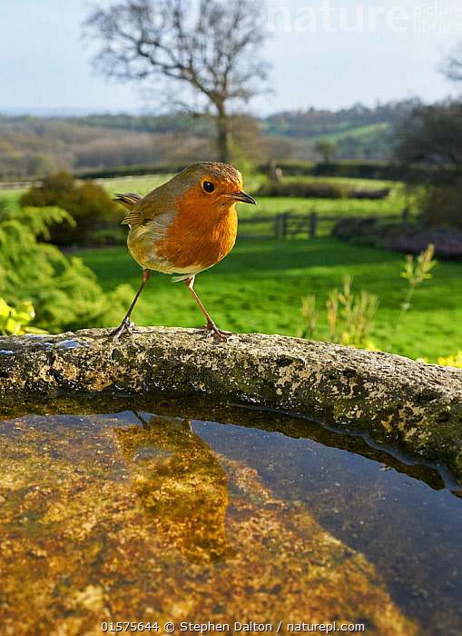 Robin (Erithacus rubecula) at bird bath, Sussex, England, UK. April., catalogue10,,Animal,Wildlife,Vertebrate,Bird,Birds,Songbird,Old world flycatcher,Robin,Animalia,Animal,Wildlife,Vertebrate,Aves,Bird,Birds,Passeriformes,Songbird,Passerine,Muscicapidae,Old world flycatcher,Flycatcher,Erithacus,Erithacus rubecula,Robin,European robin,Bathing,Europe,Western Europe,UK,Great Britain,England,Close Up,Portrait,Birdbath,Garden,Reflection,Spring,Animal Behaviour,Behaviour,Bathes,Sussex,Behavioural,, Stephen  Dalton