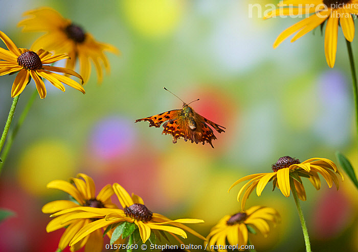 Comma butterfly (Polygonia c-album) in flight, Sussex, England, UK, September., catalogue10,,Animal,Wildlife,Arthropod,Insect,Brushfooted butterfly,Comma,Animalia,Animal,Wildlife,Hexapoda,Arthropod,Invertebrate,Hexapod,Arthropoda,Insecta,Insect,Lepidoptera,Lepidopterans,Nymphalidae,Brushfooted butterfly,Fourfooted butterfly,Nymphalid,Butterfly,Papilionoidea,Polygonia,Comma,Polygonia c-album,Anglewings,Nymphalis c-album,Polygonia c album,Papilio c-album,Flying,Colour,Yellow,Europe,Western Europe,UK,Great Britain,England,High Speed,Plant,Flower,Autumn,Sussex,, Stephen  Dalton