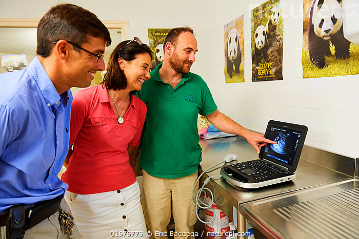 Rodolphe Delord, Managing Director, his sister Delphine Delord, Marketing Manager, and  Baptiste Mulot, Chief veterinarian, looking at the ultrasound scan of panda twins, Beauval Zoo, France. August  2017  Please contact us to order / licence these images.  ,  Animal,Wildlife,Vertebrate,Mammal,Carnivore,Bear,Giant panda,Animalia,Animal,Wildlife,Vertebrate,Mammalia,Mammal,Carnivora,Carnivore,Ursidae,Bear,Ailuropoda,Ailuropoda melanoleuca,Giant panda,People,Veterinary Surgeon,Europe,Western Europe,France,Equipment,Medical Scan,Medical Scans,Ultrasound Scan,Ultrasound Machine,Ultrasound Machines,Ultrasound Scans,Sonogram,Sonograms,Zoo,Endangered species,threatened,Endangered  ,  Eric Baccega