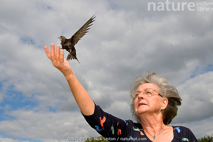 Judith Wakelam releasing an orphaned Common swift chick (Apus apus) she has fostered and fed with insects at her home until it was ready to fly, Worlington, Suffolk, UK, July. Model released. Winner of Conservation Documentary Award in Bird Photographer of the Year competition 2020.  ,  catalogue10,,Animal,Wildlife,Vertebrate,Bird,Birds,Swift,Common swift,Animalia,Animal,Wildlife,Vertebrate,Aves,Bird,Birds,Apodiformes,Apodidae,Swift,Apus,Apus apus,Common swift,Eurasian swift,European swift,Northern swift,Flying,People,Woman,Care,Caring,Europe,Western Europe,UK,Great Britain,England,Suffolk,Young Animal,Baby,Chick,Conservation,Animal rehabilitation,Rehabilitation,Wildlife conservation,Animal orphan,Orphan,  ,  Nick Upton