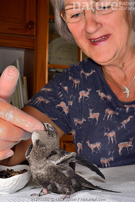 Judith Wakelam hand-feeding an orphaned Common swift chick (Apus apus) with insect food in her home, Worlington, Suffolk, UK, July. Model released. Winner of Conservation Documentary Award in Bird Photographer of the Year competition 2020.  ,  Animal,Wildlife,Vertebrate,Bird,Birds,Swift,Common swift,Animalia,Animal,Wildlife,Vertebrate,Aves,Bird,Birds,Apodiformes,Apodidae,Swift,Apus,Apus apus,Common swift,Eurasian swift,European swift,Northern swift,People,Woman,Europe,Western Europe,UK,Great Britain,England,Suffolk,Young Animal,Baby,Chick,Conservation,  ,  Nick Upton