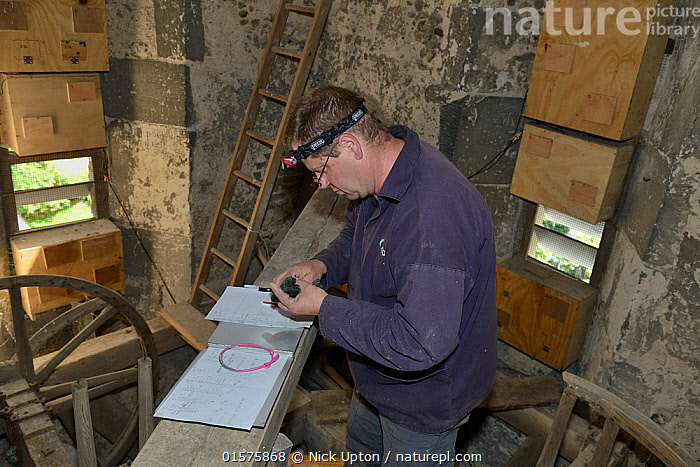 Simon Evans ringing a Common swift chick (Apus apus) removed briefly from a nest box in All Saints Church belfry with over 40 swift nestboxes, Worlington, Suffolk, UK, July. Model released. Winner of Conservation Documentary Award in Bird Photographer of the Year competition 2020.  ,  Animal,Wildlife,Vertebrate,Bird,Birds,Swift,Common swift,Animalia,Animal,Wildlife,Vertebrate,Aves,Bird,Birds,Apodiformes,Apodidae,Swift,Apus,Apus apus,Common swift,Eurasian swift,European swift,Northern swift,Ringing,People,Man,Europe,Western Europe,UK,Great Britain,England,Suffolk,Young Animal,Baby,Chick,Animal Home,Nest Box,Nest Boxes,Building,Tower,Towers,Bell Tower,Belfries,Belfry,Bell Towers,Campaniles,Nest,Conservation,Nest-boxes,  ,  Nick Upton