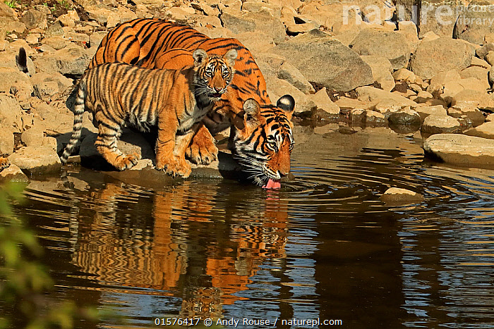 Bengal tiger (Panthera tigris) tigress 'Noor T39' drinking with cub age three months , Ranthambhore, India, catalogue10,,Animal,Wildlife,Vertebrate,Mammal,Carnivore,Cat,Big cat,Tiger,Animalia,Animal,Wildlife,Vertebrate,Mammalia,Mammal,Carnivora,Carnivore,Felidae,Cat,Panthera,Big cat,Panthera tigris,Tiger,Felis tigris,Tigris striatus,Tigris regalis,Asia,Indian Subcontinent,India,Young Animal,Baby,Baby Mammal,Cub,Reflection,Drinking,Reserve,Family,Mother baby,Mother,Protected area,National Park,Rajasthan,Parent baby,Ranthambore National Park,Endangered species,threatened,Endangered, Andy Rouse