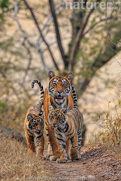 Bengal tiger (Panthera tigris) tigress Noor with cubs , Ranthambhore, India, Animal,Wildlife,Vertebrate,Mammal,Carnivore,Cat,Big cat,Tiger,Animalia,Animal,Wildlife,Vertebrate,Mammalia,Mammal,Carnivora,Carnivore,Felidae,Cat,Panthera,Big cat,Panthera tigris,Tiger,Felis tigris,Tigris striatus,Tigris regalis,Asia,Indian Subcontinent,India,Young Animal,Baby,Baby Mammal,Cub,Reserve,Family,Mother baby,Mother,Protected area,National Park,Rajasthan,Parent baby,Ranthambore National Park,Endangered species,threatened,Endangered, Andy Rouse