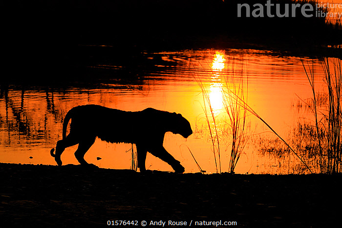 Bengal tiger (Panthera tigris) tigress 'Arrowhead' in silhouetted walking in front of lake at sunset , Ranthambhore, India, catalogue10,,Animal,Wildlife,Vertebrate,Mammal,Carnivore,Cat,Big cat,Tiger,Animalia,Animal,Wildlife,Vertebrate,Mammalia,Mammal,Carnivora,Carnivore,Felidae,Cat,Panthera,Big cat,Panthera tigris,Tiger,Felis tigris,Tigris striatus,Tigris regalis,Walking,Asia,Indian Subcontinent,India,Profile,Side View,Back Lit,Female animal,Sunset,Setting Sun,Sunsets,Reserve,Silhouette,Protected area,National Park,Dusk,Rajasthan,Moving,Ranthambore National Park,Movement,Endangered species,threatened,Endangered, Andy Rouse