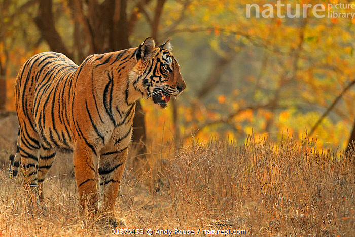 Bengal tiger (Panthera tigris) tigress 'Arrowhead', Ranthambhore, India, catalogue10,,Animal,Wildlife,Vertebrate,Mammal,Carnivore,Cat,Big cat,Tiger,Animalia,Animal,Wildlife,Vertebrate,Mammalia,Mammal,Carnivora,Carnivore,Felidae,Cat,Panthera,Big cat,Panthera tigris,Tiger,Felis tigris,Tigris striatus,Tigris regalis,Alertness,Asia,Indian Subcontinent,India,Portrait,Female animal,Reserve,Protected area,National Park,Rajasthan,Ranthambore National Park,Endangered species,threatened,Endangered, Andy Rouse