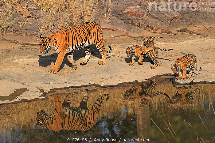 Bengal tiger (Panthera tigris) tigress 'Noor T39' with cubs age three months , Ranthambhore, India, catalogue10,,Animal,Wildlife,Vertebrate,Mammal,Carnivore,Cat,Big cat,Tiger,Animalia,Animal,Wildlife,Vertebrate,Mammalia,Mammal,Carnivora,Carnivore,Felidae,Cat,Panthera,Big cat,Panthera tigris,Tiger,Felis tigris,Tigris striatus,Tigris regalis,Asia,Indian Subcontinent,India,Young Animal,Baby,Baby Mammal,Cub,Reflection,Water Hole,Water Holes,Freshwater,Water,Reserve,Family,Mother baby,Mother,Protected area,National Park,Rajasthan,Parent baby,Ranthambore National Park,Endangered species,threatened,Endangered, Andy Rouse