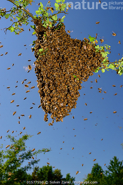 Honey bee (Apis mellifera) swarm. Kiel Germany, June  ,  Animal,Wildlife,Arthropod,Insect,Bee,Honey bee,Animalia,Animal,Wildlife,Hexapoda,Arthropod,Invertebrate,Hexapod,Arthropoda,Insecta,Insect,Hymenoptera,Hymenopterans,Apidae,Bee,Apid bee,Apoidea,Apocrita,Apis,Honey bee,Honeybee,Colonial bee,Apini,Apis mellifera,European honey bee,Western honey bee,Apis mellifica,Swarm,Swarms,Group,Large Group,Europe,Western Europe,Germany,Multitude,  ,  Solvin Zankl