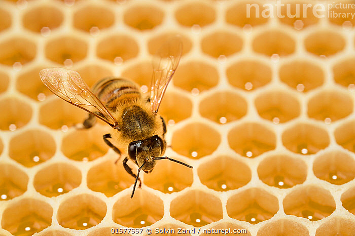 Honey bee (Apis mellifera) on comb with honey, Kiel, Germany, June.  ,  Animal,Wildlife,Arthropod,Insect,Bee,Honey bee,Animalia,Animal,Wildlife,Hexapoda,Arthropod,Invertebrate,Hexapod,Arthropoda,Insecta,Insect,Hymenoptera,Hymenopterans,Apidae,Bee,Apid bee,Apoidea,Apocrita,Apis,Honey bee,Honeybee,Colonial bee,Apini,Apis mellifera,European honey bee,Western honey bee,Apis mellifica,Europe,Western Europe,Germany,Honey,Honeycomb,Honeycombs,  ,  Solvin Zankl
