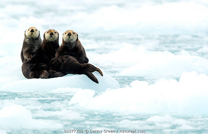 Three Sea otters (Enhydra lutris) resting on ice, Alaska, June  ,  catalogue10,,Animal,Wildlife,Vertebrate,Mammal,Carnivore,Mustelid,Sea otter,Sea Otter,American,Animalia,Animal,Wildlife,Vertebrate,Mammalia,Mammal,Carnivora,Carnivore,Mustelidae,Mustelid,Enhydra,Sea otter,Enhydra lutris,Sea Otter,Resting,Rest,Curiosity,Cute,Adorable,Humorous,Friendship,Few,Three,Group,North America,USA,Western USA,Alaska,Copy Space,Ice,Reserve,Protected area,National Park,Direct Gaze,Negative space,American,United States of America,Endangered species,threatened,Endangered  ,  Danny Green