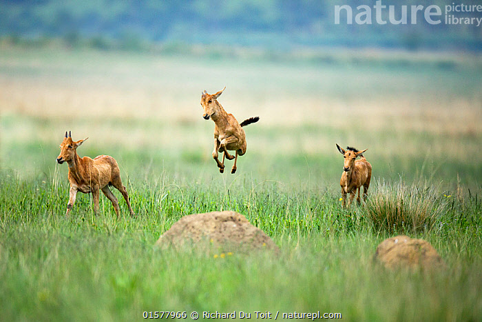 RF - Red hartebeest (Alcelaphus buselaphus) calves playing, one jumping,  Rietvlei Nature Reserve, South Africa (This image may be licensed either as rights managed or royalty free.), Animal,Wildlife,Vertebrate,Mammal,Bovid,Hartebeest,Animalia,Animal,Wildlife,Vertebrate,Mammalia,Mammal,Artiodactyla,Even-toed ungulates,Bovidae,Bovid,ruminantia,Ruminant,Alcelaphus,Hartebeest,Alcelaphus buselaphus,Swayne's Hartebeest,Joy,Africa,Southern Africa,South Africa,Animal Behaviour,Playing,Reserve,Protected area,South African,,RFCat1,RF17Q4,royalty free,RF,,RF3,,RF3,,RF,, Richard Du Toit