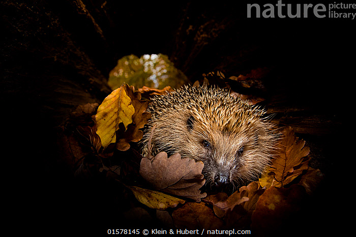 Common hedgehog  (Erinaceus europaeus) checking a hollow trunk as a possible shelter to hibernate. France, Controlled conditions., Animal,Wildlife,Vertebrate,Mammal,Hedgehog,European Hedgehog,Animalia,Animal,Wildlife,Vertebrate,Mammalia,Mammal,Erinaceomorpha,Erinaceidae,Hedgehog,Erinaceus,Erinaceus europaeus,European Hedgehog,Western European Hedgehog,Western Hedgehog,Europe,Western Europe,France,Portrait,, Klein & Hubert