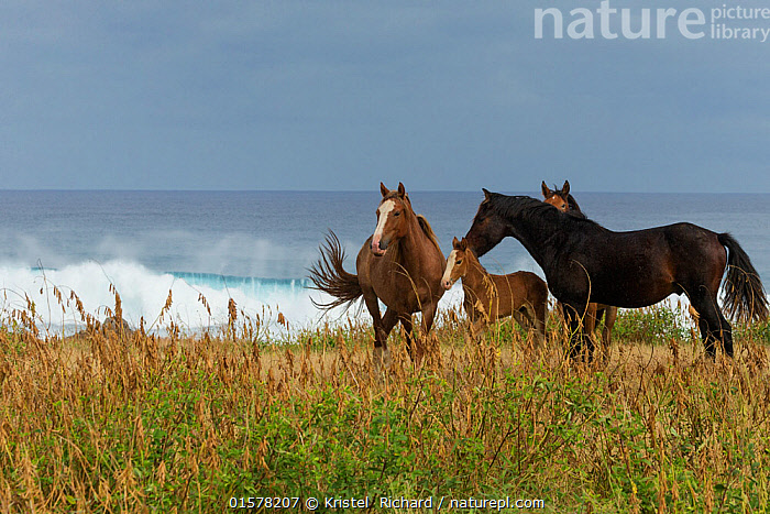 A wild Rapa Nui horse / stallion and his mare, filly and colt, standing near the sea, Rapa Nui National Park UNESCO World Heritage Site, Easter Island / Rapa Nui, Chile.  ,  Easter Island,,Equus ferus caballus,Equus caballus,Animal,Fillies,Colts,Female animal,Mare,Mares,Male Animal,Reserve,Domestic animal,Domestic Horse,Family,Domesticated,Equus ferus caballus,Equus caballus,Protected area,UNESCO World Heritage Site,National Park,Feral,Horse,Mammal  ,  Kristel  Richard