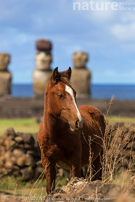 Wild Rapa Nui horse / colt, near Ahu Tongariki, Rapa Nui National Park UNESCO World Heritage Site, Easter Island / Rapa Nui, Chile.  ,  Easter Island,,Equus ferus caballus,Equus caballusAnimal,Colts,Male Animal,Reserve,Domestic animal,Domestic Horse,Domesticated,Equus ferus caballus,Equus caballus,Protected area,UNESCO World Heritage Site,National Park,Feral,Horse,Mammal  ,  Kristel  Richard
