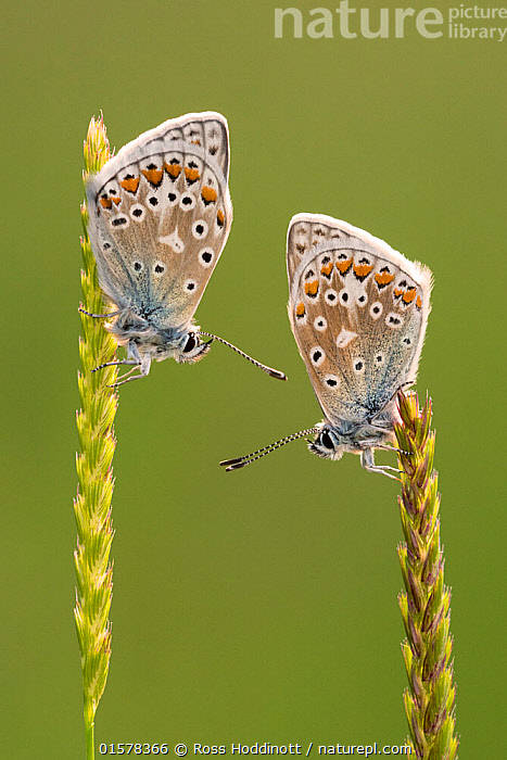 Common blue butterflies (Polyommatus icarus) resting on grasses, Vealand Farm, Devon, UK. June 2017, catalogue10,,Animal,Wildlife,Arthropod,Insect,Gossamer winged butterfly,Common blue,Animalia,Animal,Wildlife,Hexapoda,Arthropod,Invertebrate,Hexapod,Arthropoda,Insecta,Insect,Lepidoptera,Lepidopterans,Lycaenidae,Gossamer winged butterfly,Lycaenid,Butterfly,Papilionoidea,Polyommatus,Polyommatus icarus,Common blue,European common blue,Papilio icarus,Polyommatus abdon,Polyommatus andrnicus,Resting,Rest,Two,Europe,Western Europe,UK,Great Britain,England,Devon,Profile,Close Up,Side View,Portrait,Plant,Grass Family,Grass,Grasses,, Ross Hoddinott