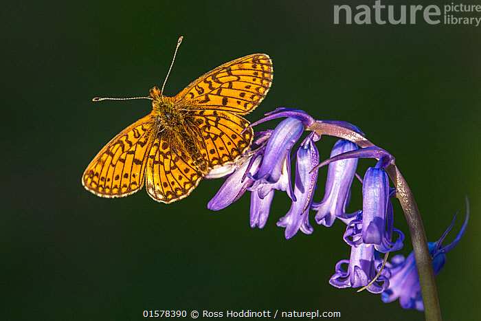 Small pearl-bordered fritillary butterfly (Boloria selene), Marsland mouth, Cornwall, UK. JUne 2016.  ,  catalogue10,,Plant,Vascular plant,Flowering plant,Monocot,Bluebell,Animal,Wildlife,Arthropod,Insect,Brushfooted butterfly,Passion vine butterfly,Small pearl bordered fritillary,Plantae,Plant,Tracheophyta,Vascular plant,Magnoliopsida,Flowering plant,Angiosperm,Seed plant,Spermatophyte,Spermatophytina,Angiospermae,Asparagales,Monocot,Monocotyledon,Lilianae,Asparagaceae,Hyacinthoides,Bluebell,Hyacinthoides non-scripta,Common bluebell,English bluebell,Endymion non scriptus,Scilla non scripta,Endymion cernuus,Animalia,Animal,Wildlife,Hexapoda,Arthropod,Invertebrate,Hexapod,Arthropoda,Insecta,Insect,Lepidoptera,Lepidopterans,Nymphalidae,Brushfooted butterfly,Fourfooted butterfly,Nymphalid,Butterfly,Papilionoidea,Boloria,Passion vine butterfly,Longwing,Heliconian,Heliconninae,Heliconiini,Boloria selene,Small pearl bordered fritillary,Silver bordered fritillary,Small pearlbordered fritillary,Clossiana selene,Papilio selene,Colour,Purple,Europe,Western Europe,UK,Great Britain,England,Cornwall,Copy Space,Portrait,Flower,Wing,Wings spread,Wingspan,Negative space,  ,  Ross Hoddinott