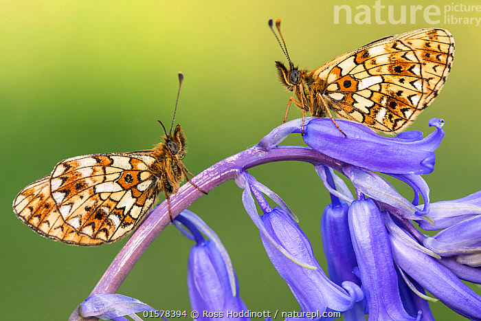 Two small pearl-bordered fritillary butterflies (Boloria selene) resting on bluebell, Marsland mouth, North Devon, UK. May 2017.  ,  catalogue10,,Plant,Vascular plant,Flowering plant,Monocot,Bluebell,Animal,Wildlife,Arthropod,Insect,Brushfooted butterfly,Passion vine butterfly,Small pearl bordered fritillary,Plantae,Plant,Tracheophyta,Vascular plant,Magnoliopsida,Flowering plant,Angiosperm,Seed plant,Spermatophyte,Spermatophytina,Angiospermae,Asparagales,Monocot,Monocotyledon,Lilianae,Asparagaceae,Hyacinthoides,Bluebell,Hyacinthoides non-scripta,Common bluebell,English bluebell,Endymion non scriptus,Scilla non scripta,Endymion cernuus,Animalia,Animal,Wildlife,Hexapoda,Arthropod,Invertebrate,Hexapod,Arthropoda,Insecta,Insect,Lepidoptera,Lepidopterans,Nymphalidae,Brushfooted butterfly,Fourfooted butterfly,Nymphalid,Butterfly,Papilionoidea,Boloria,Passion vine butterfly,Longwing,Heliconian,Heliconninae,Heliconiini,Boloria selene,Small pearl bordered fritillary,Silver bordered fritillary,Small pearlbordered fritillary,Clossiana selene,Papilio selene,Two,Pattern,Europe,Western Europe,UK,Great Britain,England,Devon,Profile,Close Up,Side View,Portrait,Spring,  ,  Ross Hoddinott
