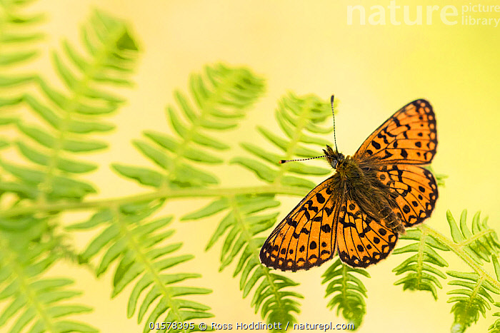 Small pearl-bordered fritillary (Boloria selene), Marsland mouth, Cornwall/Devon, UK. May 2017., Animal,Wildlife,Arthropod,Insect,Brushfooted butterfly,Passion vine butterfly,Small pearl bordered fritillary,Animalia,Animal,Wildlife,Hexapoda,Arthropod,Invertebrate,Hexapod,Arthropoda,Insecta,Insect,Lepidoptera,Lepidopterans,Nymphalidae,Brushfooted butterfly,Fourfooted butterfly,Nymphalid,Butterfly,Papilionoidea,Boloria,Passion vine butterfly,Longwing,Heliconian,Heliconninae,Heliconiini,Boloria selene,Small pearl bordered fritillary,Silver bordered fritillary,Small pearlbordered fritillary,Clossiana selene,Papilio selene,Europe,Western Europe,UK,Great Britain,England,Cornwall,Devon,, Ross Hoddinott