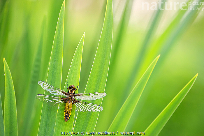 Broad bodied chaser dragonfly (Libellula depressa), newly emerged, resting on reeds,Broxwater, Cornwall, UK. April 2017.  ,  Animal,Wildlife,Arthropod,Insect,Pterygota,Skimmer,Broad bodied chaser,Animalia,Animal,Wildlife,Hexapoda,Arthropod,Invertebrate,Hexapod,Arthropoda,Insecta,Insect,Odonata,Pterygota,Libellulidae,Skimmer,Skimmer dragonfly,Dragonfly,Anisoptera,Epiprocta,Libellula,Libellula depressa,Broad bodied chaser,Broadbodied chaser,Resting,Rest,Europe,Western Europe,UK,Great Britain,England,Cornwall,Plant,Grass Family,Reed,Reeds,  ,  Ross Hoddinott