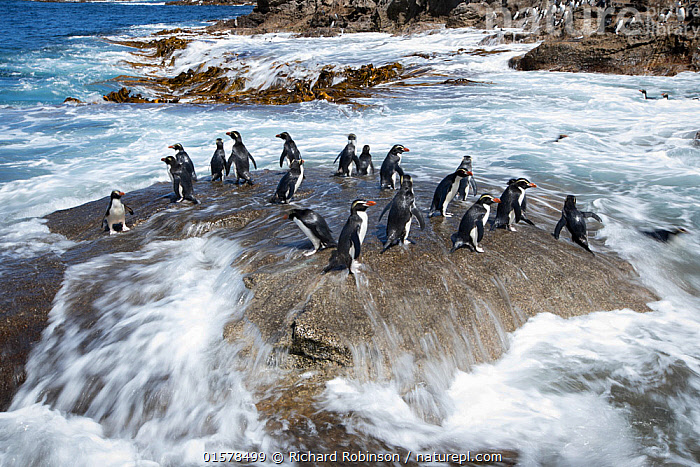 Snares crested penguin (Eudyptes robustus) on rock  washed with sea surf, Snares (Tine Heke) Sub Antarctic Island Group, Southern Ocean, New Zealand.