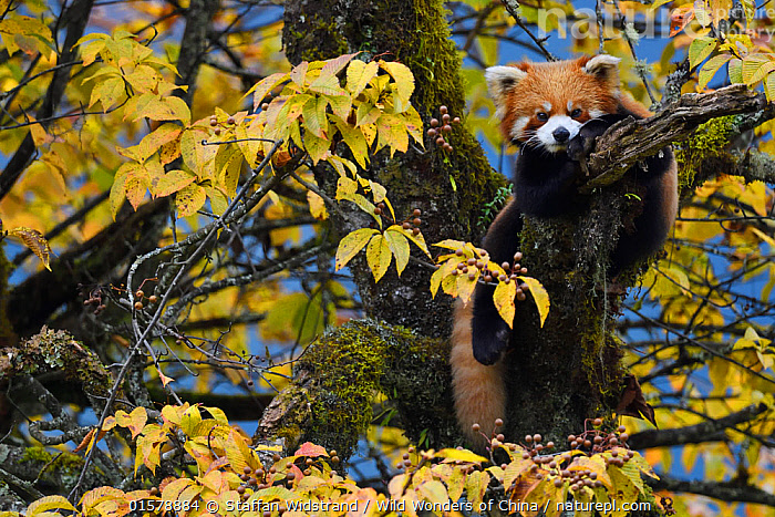 Red panda or Lesser panda (Ailurus fulgens) in the humid montane mixed forest, Laba He National Nature Reserve, Sichuan, China, Animal,Wildlife,Vertebrate,Mammal,Carnivore,Red Panda,Animalia,Animal,Wildlife,Vertebrate,Mammalia,Mammal,Carnivora,Carnivore,Ailuridae,Red Panda,Ailurus,Ailurus fulgens,Lesser Panda,Red Cat-bear,Asia,East Asia,China,Plant,Tree,Autumn,Rainforest,Reserve,Forest,Climbing,Sub-Tropical rainforest,Protected area,Sichuan Province,Endangered species,threatened,Vulnerable, Staffan Widstrand / Wild Wonders of China