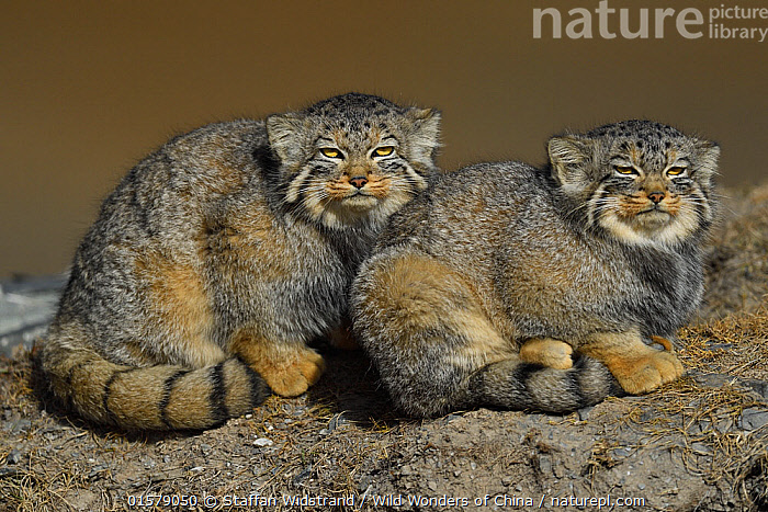 Pallas's cat (Otocolobus manul) two sitting side by side, Tibetan Plateau, Qinghai, China, catalogue10,,Animal,Wildlife,Vertebrate,Mammal,Carnivore,Cat,Pallas&#39, cat,Animalia,Animal,Wildlife,Vertebrate,Mammalia,Mammal,Carnivora,Carnivore,Felidae,Cat,Otocolobus,Otocolobus manul,Pallas&#39, cat,Friendship,Two,Asia,East Asia,China,Portrait,Direct Gaze,Fed up,Qinghai Tibetan Plateau,, Staffan Widstrand / Wild Wonders of China