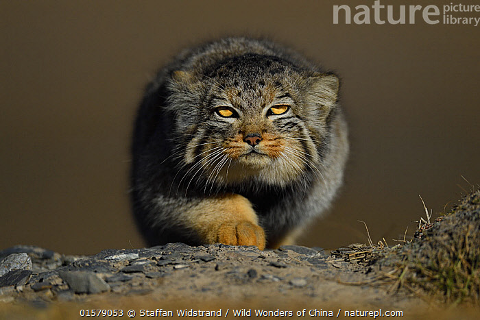 Pallas's cat (Otocolobus manul) Tibetan Plateau, Qinghai, China, catalogue10,,Animal,Wildlife,Vertebrate,Mammal,Carnivore,Cat,Pallas&#39, cat,Animalia,Animal,Wildlife,Vertebrate,Mammalia,Mammal,Carnivora,Carnivore,Felidae,Cat,Otocolobus,Otocolobus manul,Pallas&#39, cat,Asia,East Asia,China,Copy Space,Portrait,Animal Eye,Eyes,Direct Gaze,Negative space,Fed up,Qinghai Tibetan Plateau,, Staffan Widstrand / Wild Wonders of China