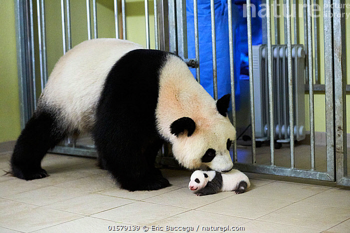 Giant panda (Ailuropoda melanoleuca) mother Huan Huan, picking up baby, age one month, Beauval Zoo, France. Sequence 3 of 5 September 2017., catalogue10,,Animal,Wildlife,Vertebrate,Mammal,Carnivore,Bear,Giant panda,Animalia,Animal,Wildlife,Vertebrate,Mammalia,Mammal,Carnivora,Carnivore,Ursidae,Bear,Ailuropoda,Ailuropoda melanoleuca,Giant panda,People,Care,Caring,Young Animal,Baby,Zoo,Zoos,Animal Behaviour,Parental behaviour,Conservation,Family,Mother baby,Behaviour,Mother,Parental,Captive breeding,Species recovery programs,Wildlife conservation,Parent baby,Behavioural,Endangered species,threatened,Endangered, Eric Baccega