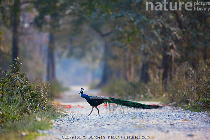 Indian peafowl (Pavo cristatus) peacock walking across path,Manas National Park UNESCO World Heritage Site, Assam, India.  ,  Animal,Wildlife,Vertebrate,Bird,Birds,Peafowl,Common peafowl,Animalia,Animal,Wildlife,Vertebrate,Aves,Bird,Birds,Galliformes,Galliforms,Galloanserae,Phasianidae,Pavo,Peafowl,Peacock,Peahen,Phasianinae,Pavo cristatus,Common peafowl,Indian peafowl,Blue peafowl,Indian peacock,Asia,Indian Subcontinent,India,Profile,Side View,Road,Reserve,Protected area,UNESCO World Heritage Site,National Park,Assam,  ,  Sandesh  Kadur