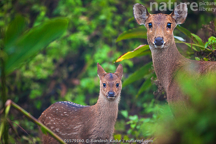 Indian hog deer (Hyelaphus porcinus) mother and fawn, Manas National Park UNESCO World Heritage Site, Assam, India., catalogue10,,Animal,Wildlife,Vertebrate,Mammal,Deer,Indian hog deer,Animalia,Animal,Wildlife,Vertebrate,Mammalia,Mammal,Artiodactyla,Even-toed ungulates,Cervidae,Deer,True deer,ruminantia,Ruminant,Asia,Indian Subcontinent,India,Portrait,Young Animal,Baby,Baby Mammal,Fawn,Reserve,Forest,Family,Mother baby,Mother,Protected area,UNESCO World Heritage Site,National Park,Direct Gaze,Assam,Parent baby,Manas National Park,Hyelaphus,Hyelaphus porcinus,Indian hog deer,Endangered species,Threatened, Sandesh  Kadur