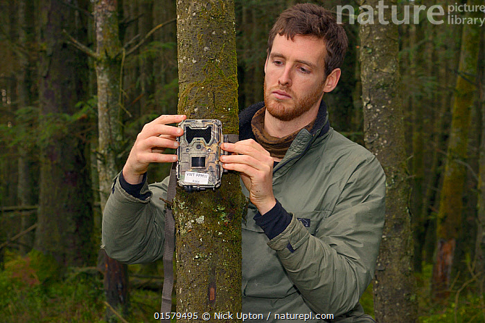 Dave Bavin setting up a trailcam in a dense coniferous plantation to photograph a radio-collared Pine Marten (Martes martes) reintroduced to Wales by the Vincent Wildlife Trust after locating it by radio-tracking, Cambrian Mountains, Wales, UK, December 2015, Model released., Animal,Wildlife,Vertebrate,Mammal,Carnivore,Mustelid,Marten,European Pine Martin,Animalia,Animal,Wildlife,Vertebrate,Mammalia,Mammal,Carnivora,Carnivore,Mustelidae,Mustelid,Martes,Marten,Martes martes,European Pine Martin,Pine Marten,People,Man,Research,Researching,Europe,Western Europe,UK,Great Britain,Wales,Science,Woodland,Forest,Conservation,Wildlife conservation,Reintroduction,Reintroduced,, Nick Upton