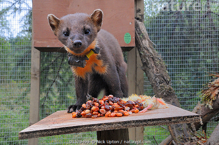 Pine marten (Martes martes) male standing on a feeding table in a soft release cage after arrival from Scotland, during a reintroduction project by the Vincent Wildlife Trust, Cambrian Mountains, Wales, UK, September 2016. Photographed with a camera trap., Animal,Wildlife,Vertebrate,Mammal,Carnivore,Mustelid,Marten,European Pine Martin,Animalia,Animal,Wildlife,Vertebrate,Mammalia,Mammal,Carnivora,Carnivore,Mustelidae,Mustelid,Martes,Marten,Martes martes,European Pine Martin,Pine Marten,Releasing,Europe,Western Europe,UK,Great Britain,Wales,Male Animal,Feeding,Conservation,Wildlife conservation,Reintroduction,Reintroduced,, Nick Upton