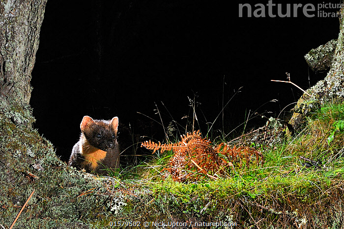 Pine Marten (Martes martes) foraging at night in mixed coniferous and birch woodland in the area where live traps were set for a reintroduction project to Wales by the Vincent Wildlife Trust, Scottish Highlands, UK, September 2016. Photographed by a remote camera trap.  ,  Animal,Wildlife,Vertebrate,Mammal,Carnivore,Mustelid,Marten,European Pine Martin,Animalia,Animal,Wildlife,Vertebrate,Mammalia,Mammal,Carnivora,Carnivore,Mustelidae,Mustelid,Martes,Marten,Martes martes,European Pine Martin,Pine Marten,Foraging,Europe,Western Europe,UK,Great Britain,Scotland,Conservation,Wildlife conservation,Reintroduction,Reintroduced,  ,  Nick Upton