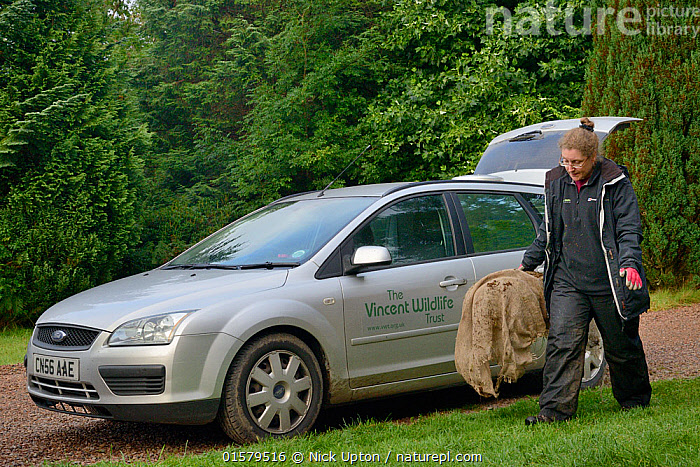 Dr. Jenny Macpherson carrying a live trap containing a Pine Marten (Martes martes) caught in Scottish woodland to a mobile vet clinic in a caravan for a radiocollar to be fitted, for a reintroduction project to Wales run by the Vincent Wildlife Trust, Highland region, Scotland, September 2016. Model released., Animal,Wildlife,Vertebrate,Mammal,Carnivore,Mustelid,Marten,European Pine Martin,Animalia,Animal,Wildlife,Vertebrate,Mammalia,Mammal,Carnivora,Carnivore,Mustelidae,Mustelid,Martes,Marten,Martes martes,European Pine Martin,Pine Marten,People,Woman,Europe,Western Europe,UK,Great Britain,Scotland,Trap,Traps,Conservation,Wildlife conservation,Reintroduction,Reintroduced,Car,, Nick Upton
