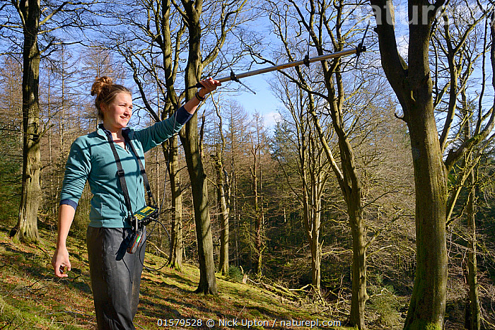 Catherine McNicol radiotracking in mixed Beech and coniferous woodland to locate radio-collared Grey Squirrels (Sciurus carolinensis) in the area where their predators, Pine Martens (Martes martes) have been reintroduced to Wales by the Vincent Wildlife Trust, Cambrian Mountains, Wales, UK, February 2016. Model released.  ,  Animal,Wildlife,Vertebrate,Mammal,Carnivore,Mustelid,Marten,European Pine Martin,Rodent,Squirrel,Eastern Gray Squirrel,Animalia,Animal,Wildlife,Vertebrate,Mammalia,Mammal,Carnivora,Carnivore,Mustelidae,Mustelid,Martes,Marten,Martes martes,European Pine Martin,Pine Marten,Rodentia,Rodent,Sciuridae,Sciurus,Squirrel,Sciurus carolinensis,Eastern Gray Squirrel,Gray Squirrel,Grey Squirrel,Research,Researching,Europe,Western Europe,UK,Great Britain,Wales,Equipment,Science,Woodland,Forest,Conservation,Wildlife conservation,Conservation equipment,Radio trackers,Reintroduction,Reintroduced,  ,  Nick Upton