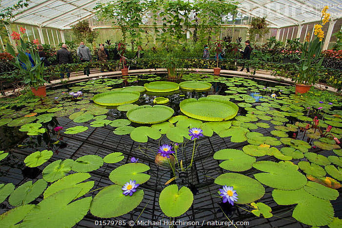 Lily pond containing Santa Cruz water lilies (Victoria cruziana) and 'Kew's Stowaway Blue' lillies (Nymphaea) in glasshouse,  Kew Gardens, London, England, UK., Plant,Vascular plant,Flowering plant,Giant waterlily,Waterlilies,Plantae,Plant,Tracheophyta,Vascular plant,Magnoliopsida,Flowering plant,Angiosperm,Seed plant,Spermatophyte,Spermatophytina,Angiospermae,Nymphaeales,Nymphaeaceae�,Nymphaea,Victoria,Giant waterlily,Giant water lily,People,European Descent,Caucasian Ethnicity,Colour,Purple,Europe,Western Europe,UK,Great Britain,England,London,Greater London,Outer London,Richmond upon Thames,Kew,Flower,Botanical Gardens,Building,Greenhouse,Greenhouses,Indoors,Travel,Tourism,Freshwater,Pond,Water,Waterlilies,Aquatic, Michael Hutchinson