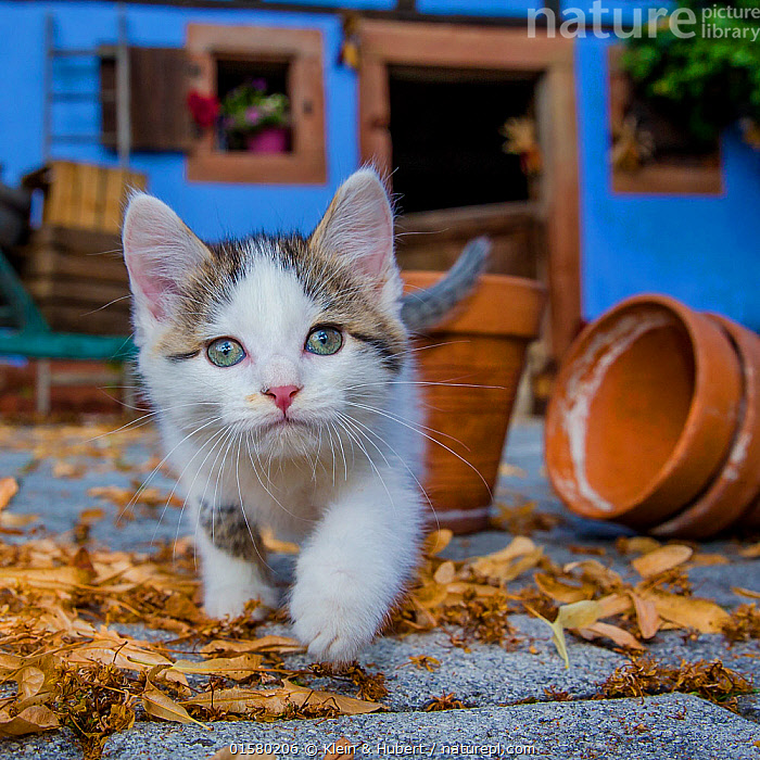 Tabby and white kitten stalking in farmyard, France., Felis catus,Cute,Adorable,Europe,Western Europe,France,Animal,Young Animal,Baby,Baby Mammal,Kitten,Kittens,Outdoors,Domestic animal,Pet,Domestic Cat,Domesticated,Felis catus,Cat, Klein & Hubert