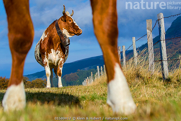 Ferrandaise cow, seen between the legs of another, Auvergne, France., Europe,Western Europe,France,Animal,Female animal,Cow,Animal Legs,Legs,Leg,Livestock,Domestic animal,Cattle,Domesticated,Mammal,, Klein & Hubert