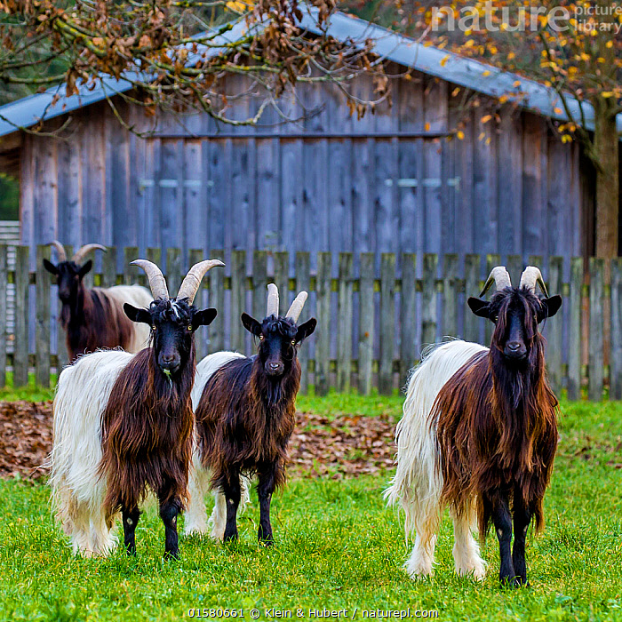 Group of Valais blackneck goats, Switzerland.  ,  Hairstyle,Hair Length,Long Hair,Long Haired,Group Of Animals,Few,Four,Group,Hairy,Hirsute,Europe,Western Europe,Switzerland,Square Image,Animal,Building,Livestock,Domestic animal,Domesticated,Domestic Goat,Valais Blackneck,Capra aegagrus hircus,Direct Gaze,Mammal,  ,  Klein & Hubert