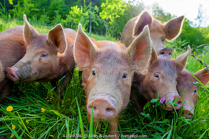 Domestic Tamworth piglets in meadow, Germany, Europe,Western Europe,Germany,Animal,Young Animal,Baby,Baby Mammal,Piglet,Piglets,Livestock,Domestic animal,Domestic Pig,Domesticated,Sus scrofa domestica,Mammal,, Klein & Hubert