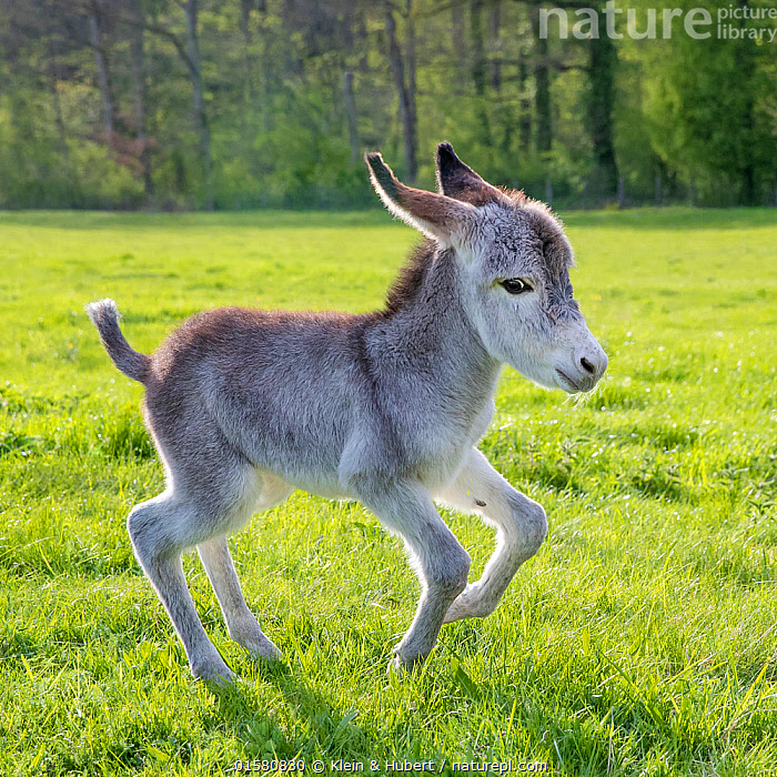 Common Donkey foal, age a few days, running in a meadow in spring, Equus assinus,Running,Europe,Western Europe,France,Animal,Young Animal,Baby,Baby Mammal,Foal,Foals,Domestic animal,Domesticated,Domestic Donkey,Ass,Equus assinus,Donkey,Moving,Mammal,Movement, Klein & Hubert