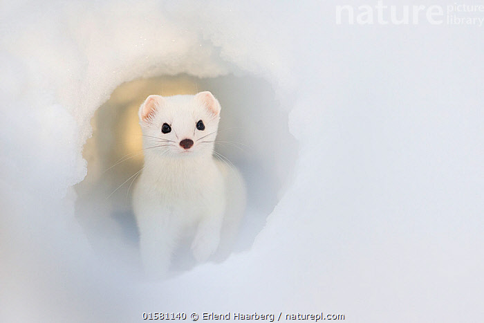 Stoat (Mustela erminea) in snow tunnel, Laponia UNESCO World Heritage Site, Swedish Lapland,   Sweden. January. Third place in Golden Turtle Photography Awards 2017 competition., catalogue10,,Animal,Wildlife,Vertebrate,Mammal,Carnivore,Mustelid,Stoat,Animalia,Animal,Wildlife,Vertebrate,Mammalia,Mammal,Carnivora,Carnivore,Mustelidae,Mustelid,Mustela,Mustela erminea,Stoat,Ermine,Short-tailed Weasel,Colour,White,Europe,Northern Europe,North Europe,Nordic Countries,Scandinavia,Sweden,Portrait,Tunnel,Tunnels,Burrow,Burrows,Snow,Winter,Competition winner,Protected area,UNESCO World Heritage Site,Laponia,Photography award,, Erlend Haarberg